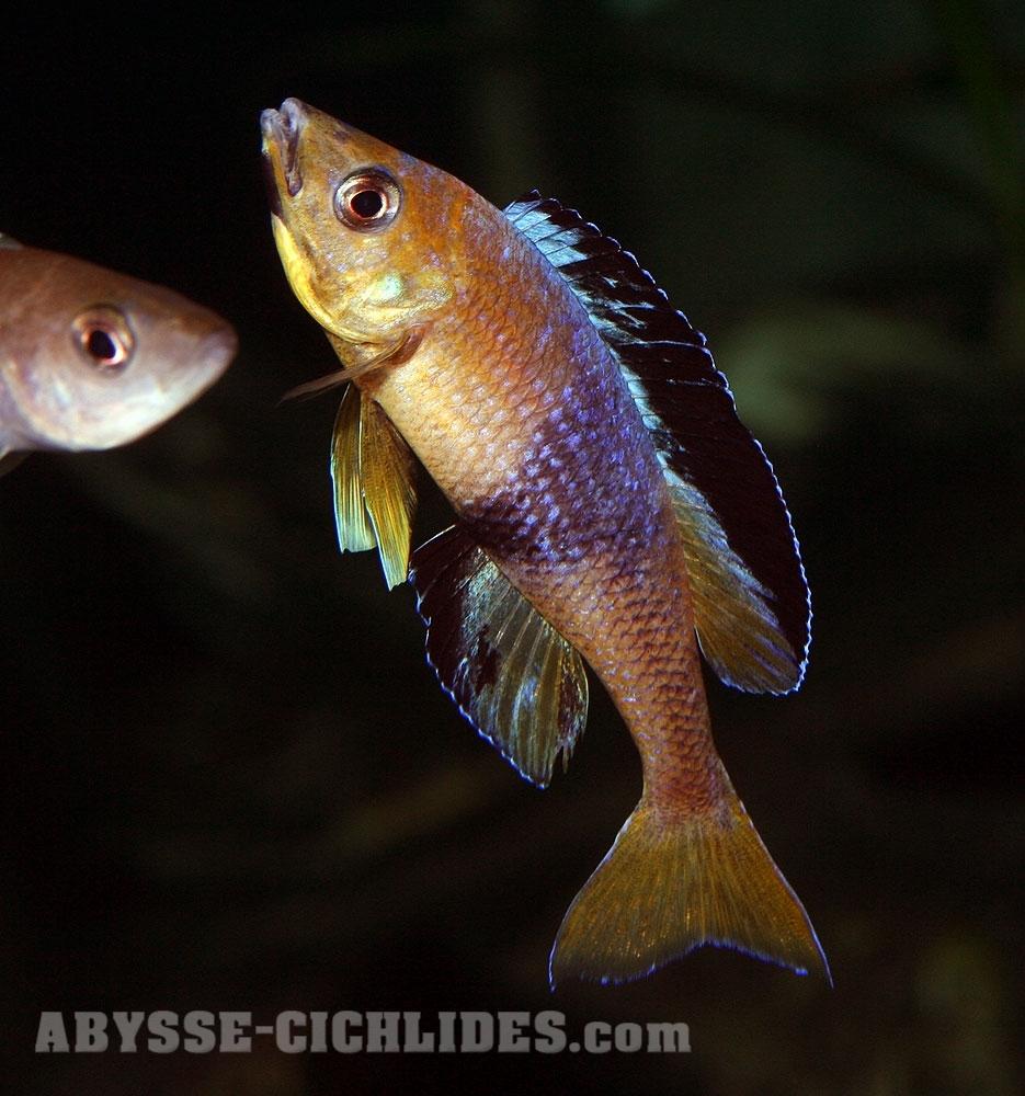 Cyprichromis sp. jumbo