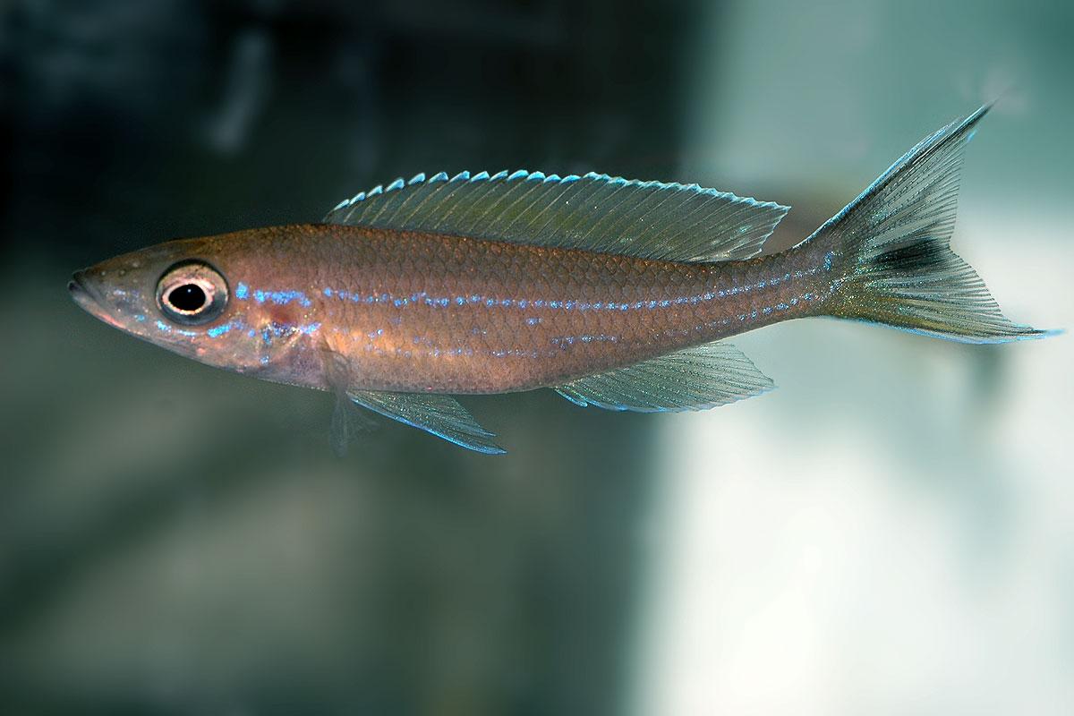 "Paracyprichromis brieni ""velifer"" mâle (Kitumba)"