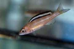 "Paracyprichromis brieni ""velifer"" femelle (Kitumba)"