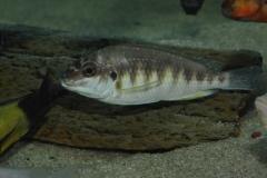 Petrochromis orthognathus