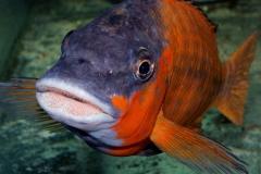 Petrochromis sp. red
