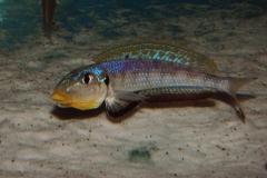 Xenotilapia (Enantiopus) sp. kilesa