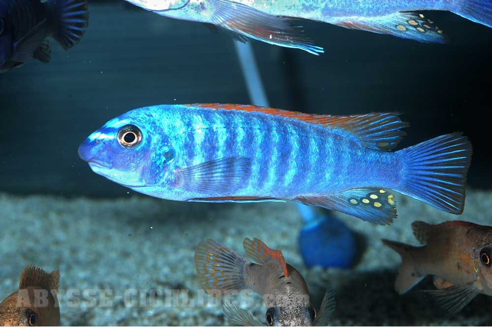 "Labeotropheus trewavasae ""Thumbi west"""