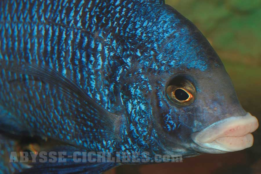 "Placidochromis phenochilus ""Mdoka"""