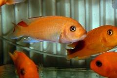 "Maylandia estherae ""minos reef"""