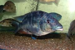 Nimbochromis linnii