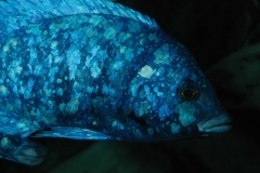 Placidochromis phenochilus Lupingu (Tanzanie)