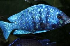 "Placidochromis phenochilus ""Lupingu"" (Tanzanie)"