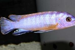 "Tropheops sp. elongatus ""Kanchedza"""